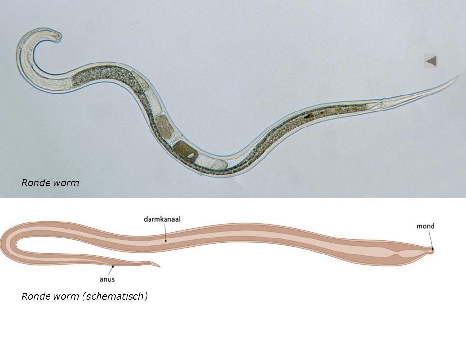 Ronde worm Ronde worm (schematisch)
