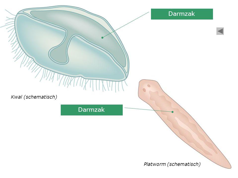 Darmzak Kwal (schematisch) Darmzak Platworm (schematisch)