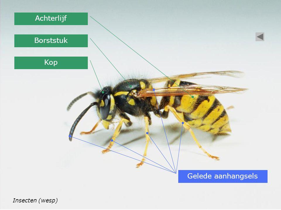 Achterlijf Borststuk Kop Gelede aanhangsels Insecten (wesp)