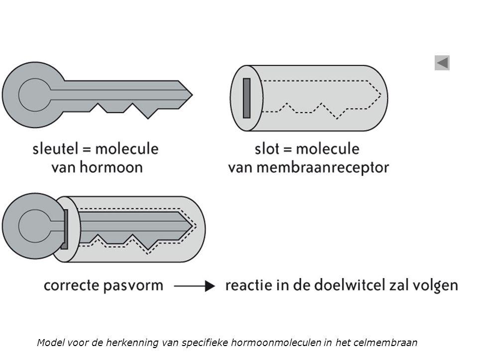 Model voor de herkenning van specifieke hormoonmoleculen in het celmembraan
