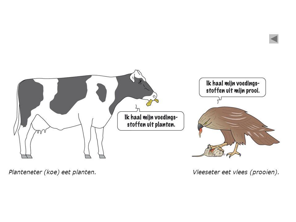 Planteneter (koe) eet planten.
