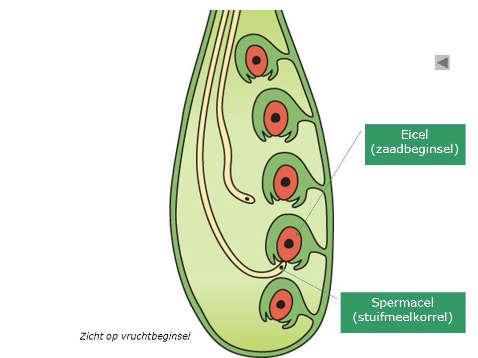 Spermacel (stuifmeelkorrel)