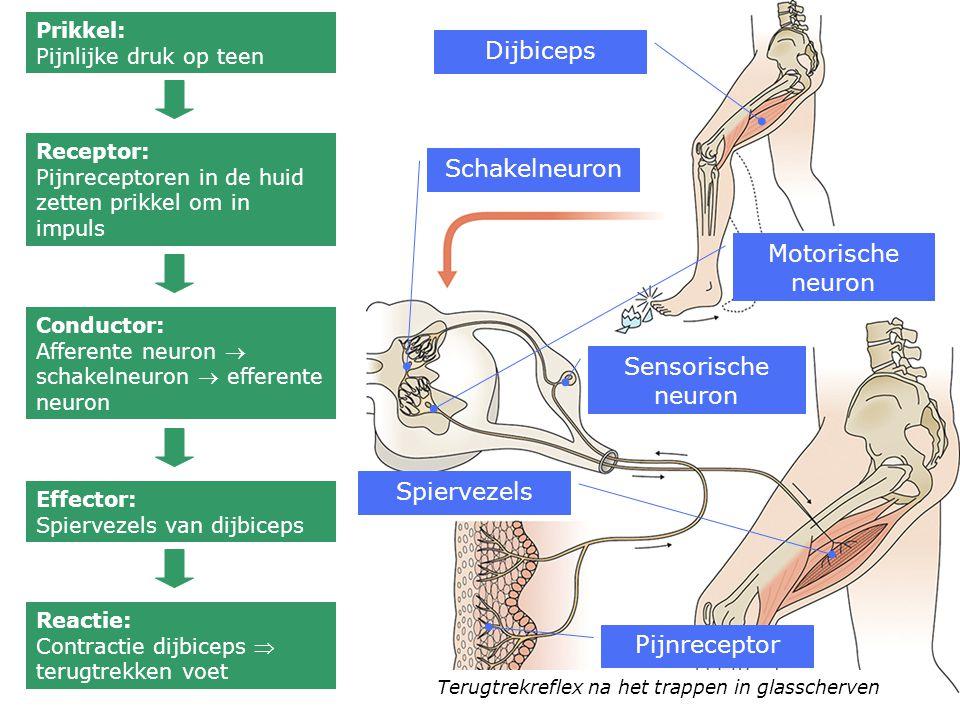 Dijbiceps Schakelneuron Motorische neuron Sensorische neuron