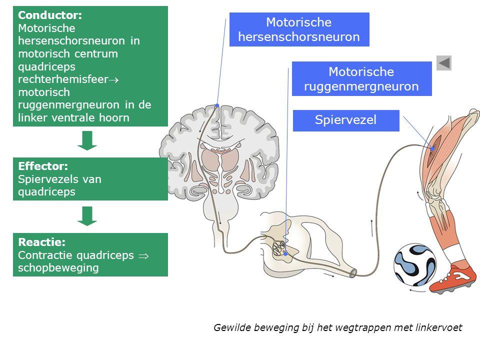 Motorische hersenschorsneuron