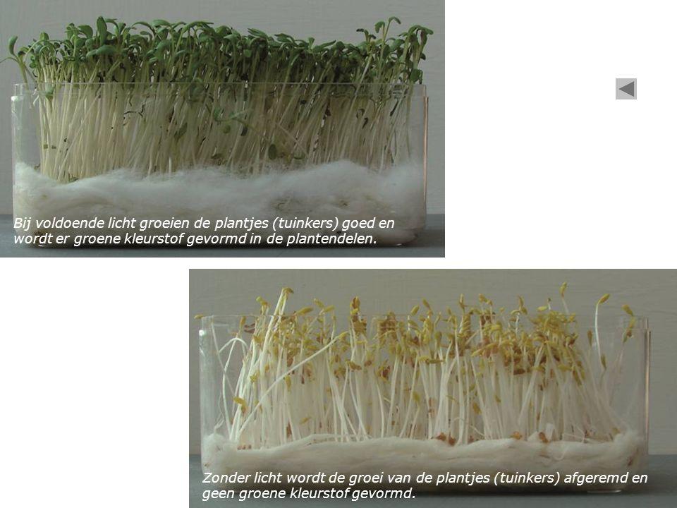 Bij voldoende licht groeien de plantjes (tuinkers) goed en wordt er groene kleurstof gevormd in de plantendelen.