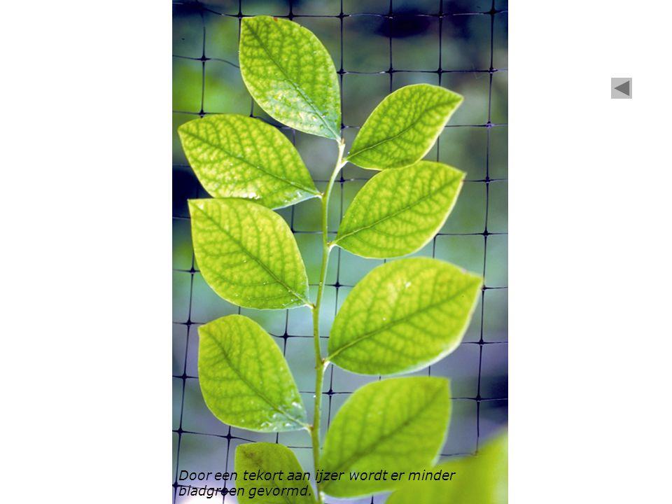 Door een tekort aan ijzer wordt er minder bladgroen gevormd.