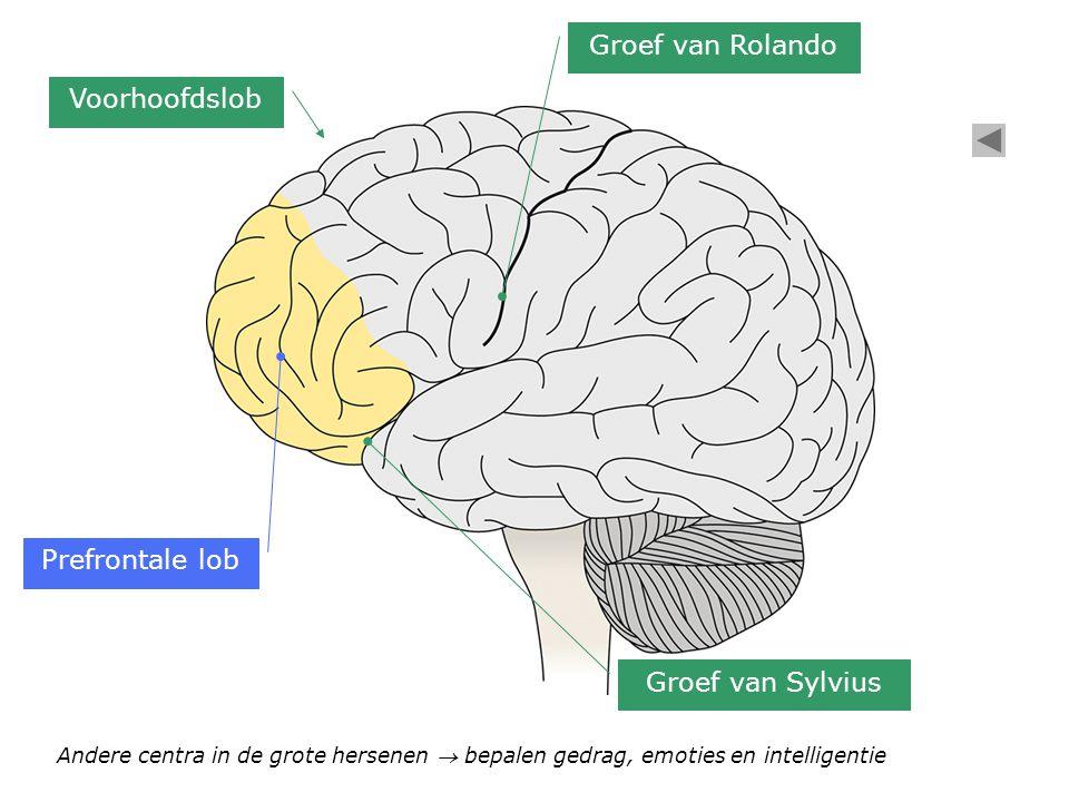 Groef van Rolando Voorhoofdslob Prefrontale lob Groef van Sylvius