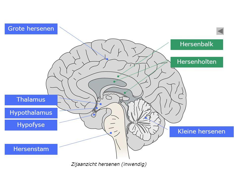 Grote hersenen Hersenbalk Hersenholten Thalamus Hypothalamus Hypofyse