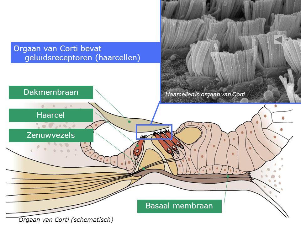 Orgaan van Corti bevat geluidsreceptoren (haarcellen)