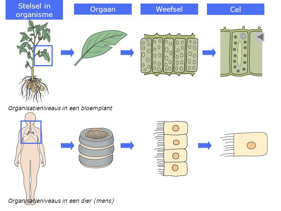 Stelsel in organisme Orgaan Weefsel Cel