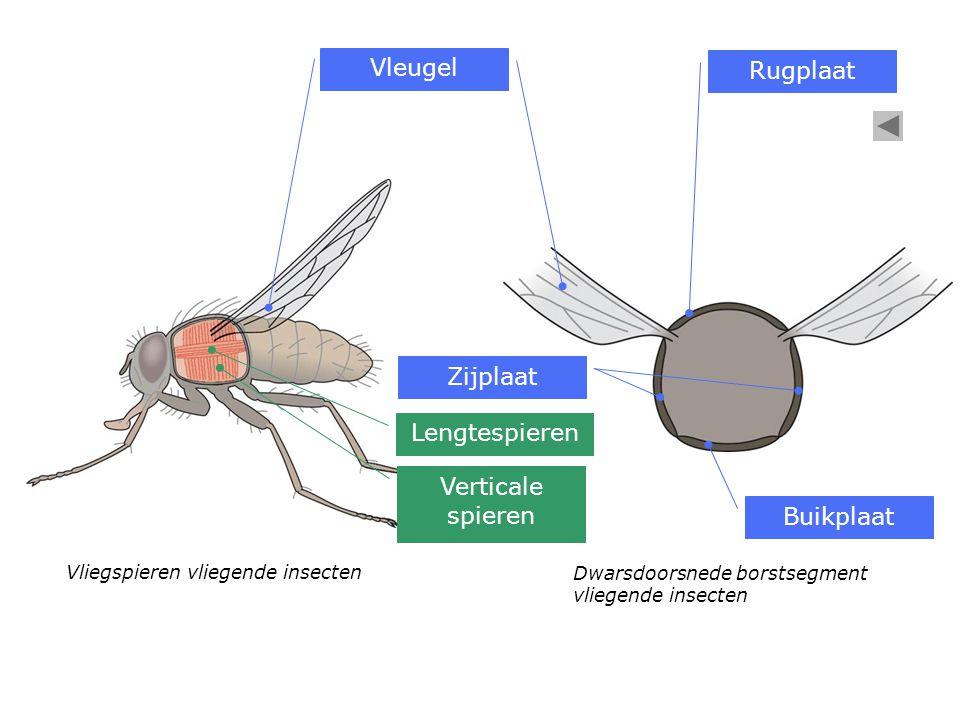 Vleugel Rugplaat Zijplaat Lengtespieren Verticale spieren Buikplaat
