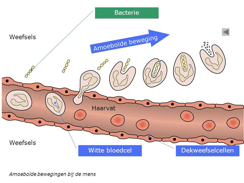 Bacterie Weefsels Amoeboïde beweging Haarvat Weefsels Witte bloedcel