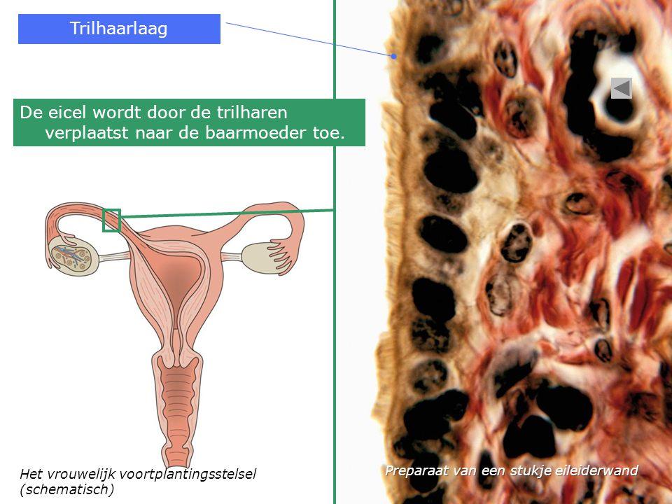 De eicel wordt door de trilharen verplaatst naar de baarmoeder toe.
