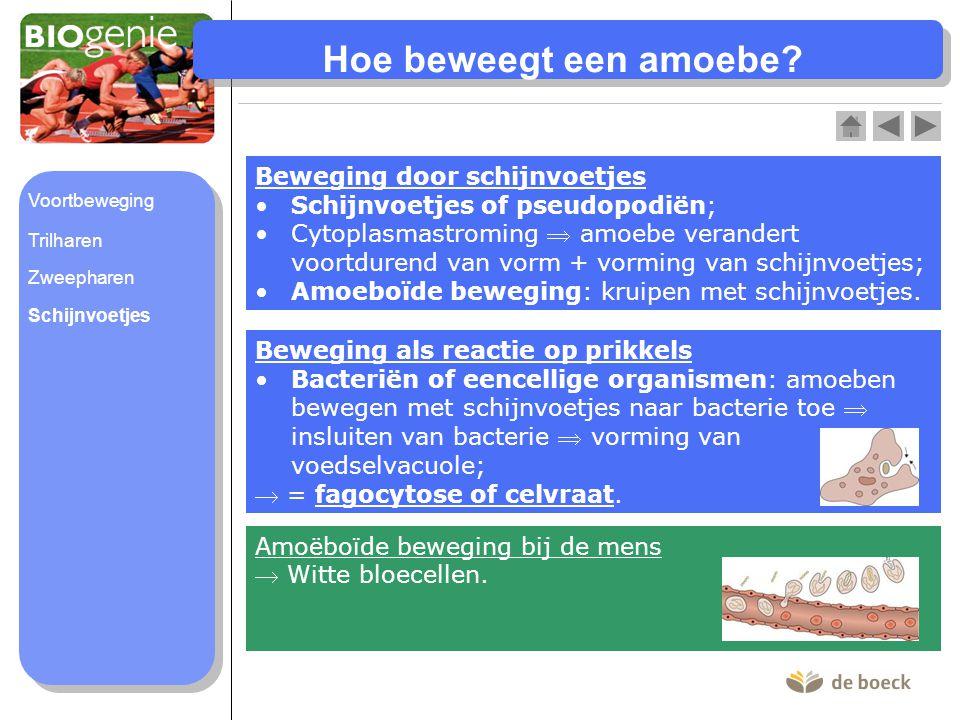 Hoe beweegt een amoebe Beweging door schijnvoetjes