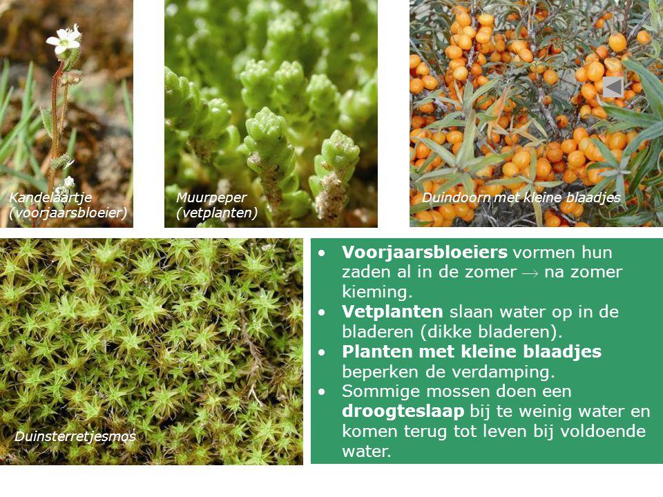 Voorjaarsbloeiers vormen hun zaden al in de zomer  na zomer kieming.