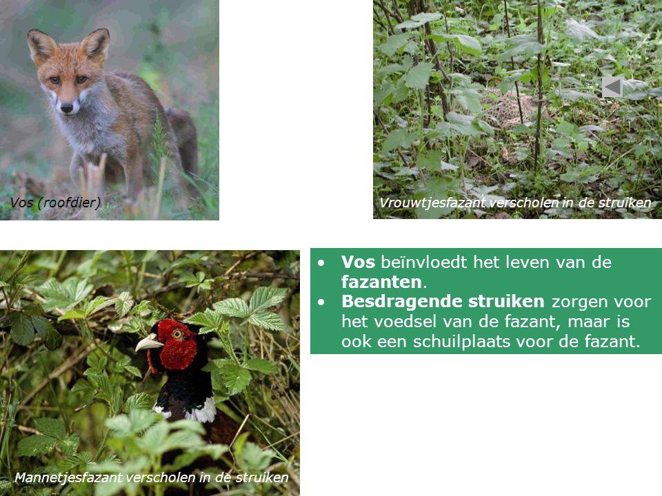 Vos beïnvloedt het leven van de fazanten.