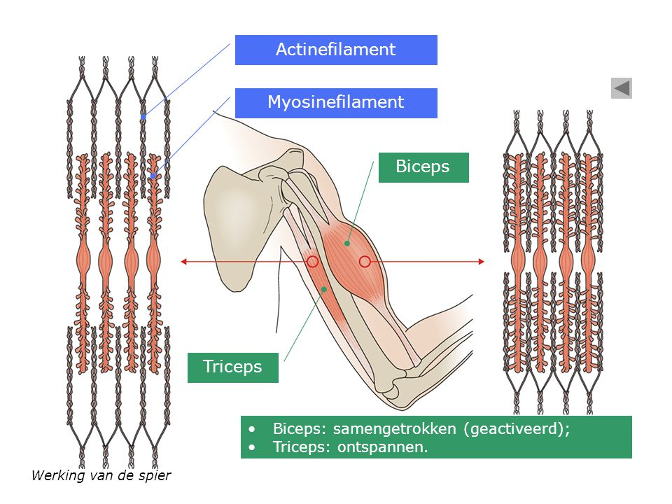 Actinefilament Myosinefilament Biceps Triceps