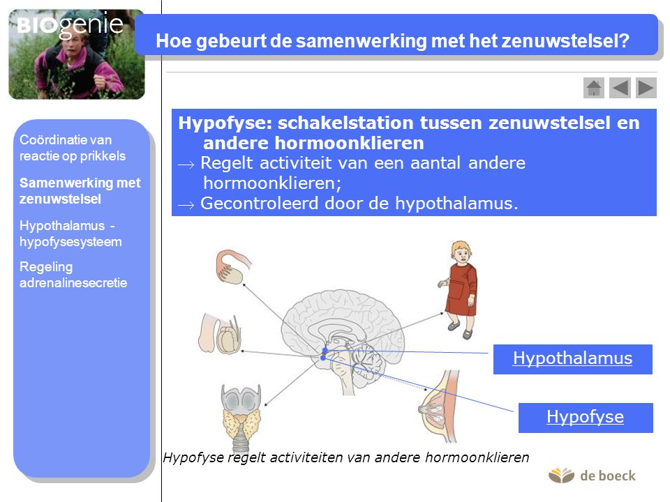 Hoe gebeurt de samenwerking met het zenuwstelsel