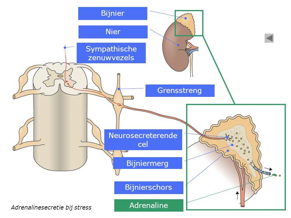 Sympathische zenuwvezels