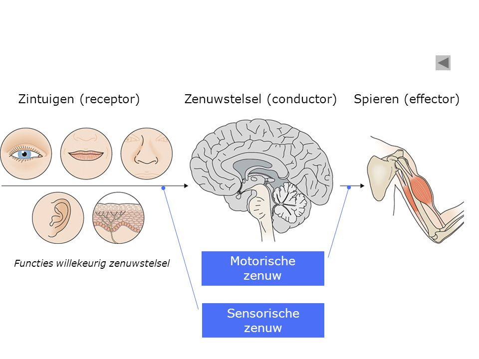Zenuwstelsel (conductor) Spieren (effector)