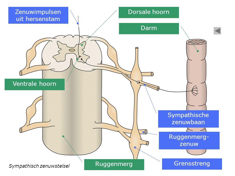 Zenuwimpulsen uit hersenstam Dorsale hoorn
