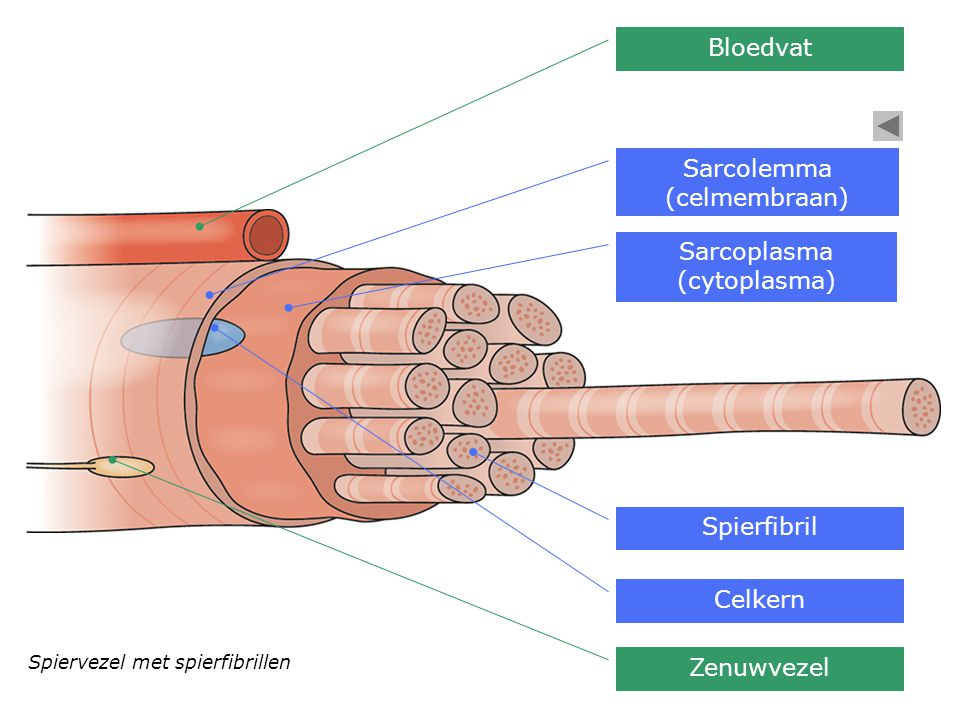 Sarcolemma (celmembraan)