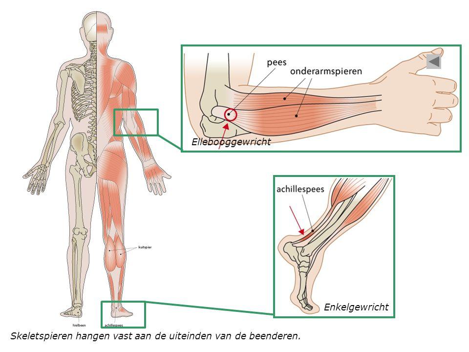 Ellebooggewricht Enkelgewricht Skeletspieren hangen vast aan de uiteinden van de beenderen.