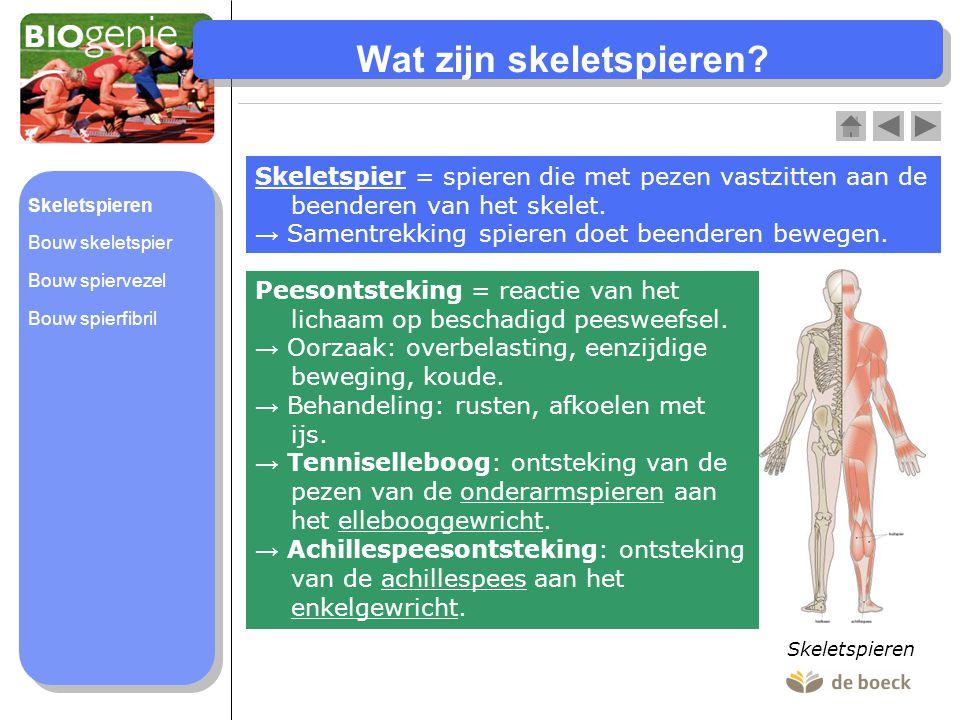 Wat zijn skeletspieren