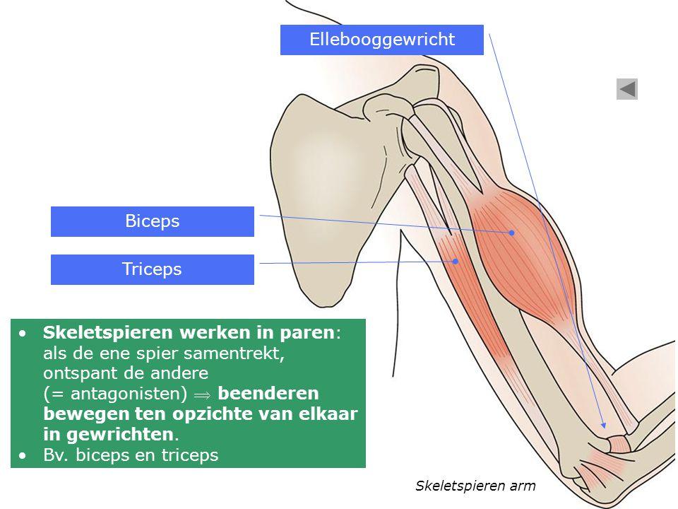 Ellebooggewricht Biceps Triceps