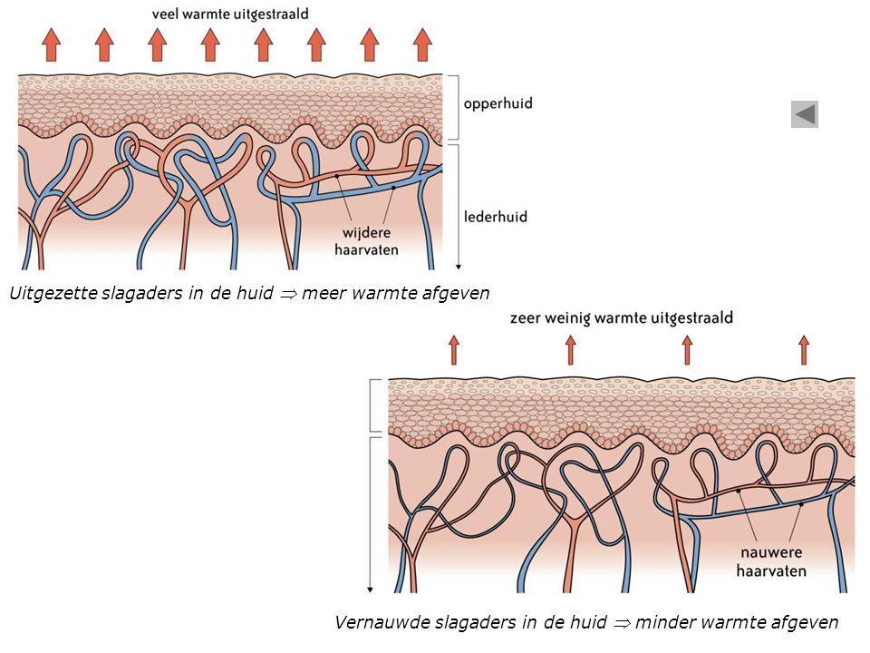 Uitgezette slagaders in de huid  meer warmte afgeven