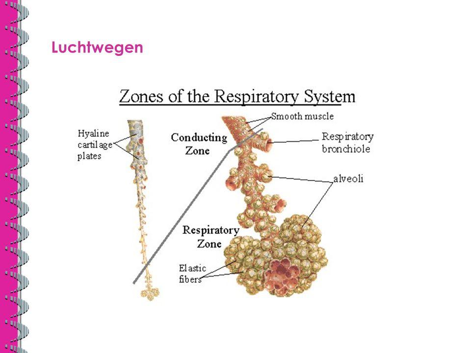 Luchtwegen Hier zie je hoe de afscheiding van de verschillende zone is, hoe dat over gaat van geleidende naar ademhalingszone.