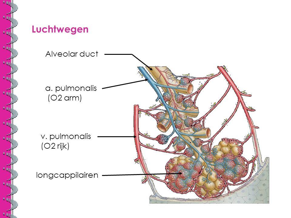Luchtwegen Alveolar duct a. pulmonalis (O2 arm) v. pulmonalis