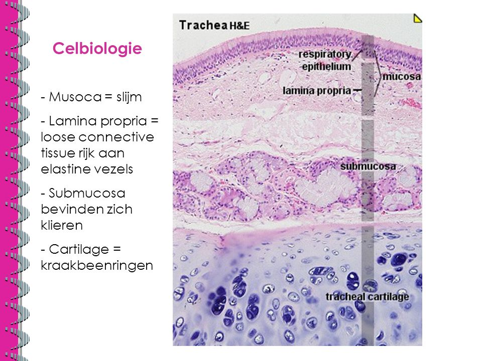 Celbiologie - Musoca = slijm