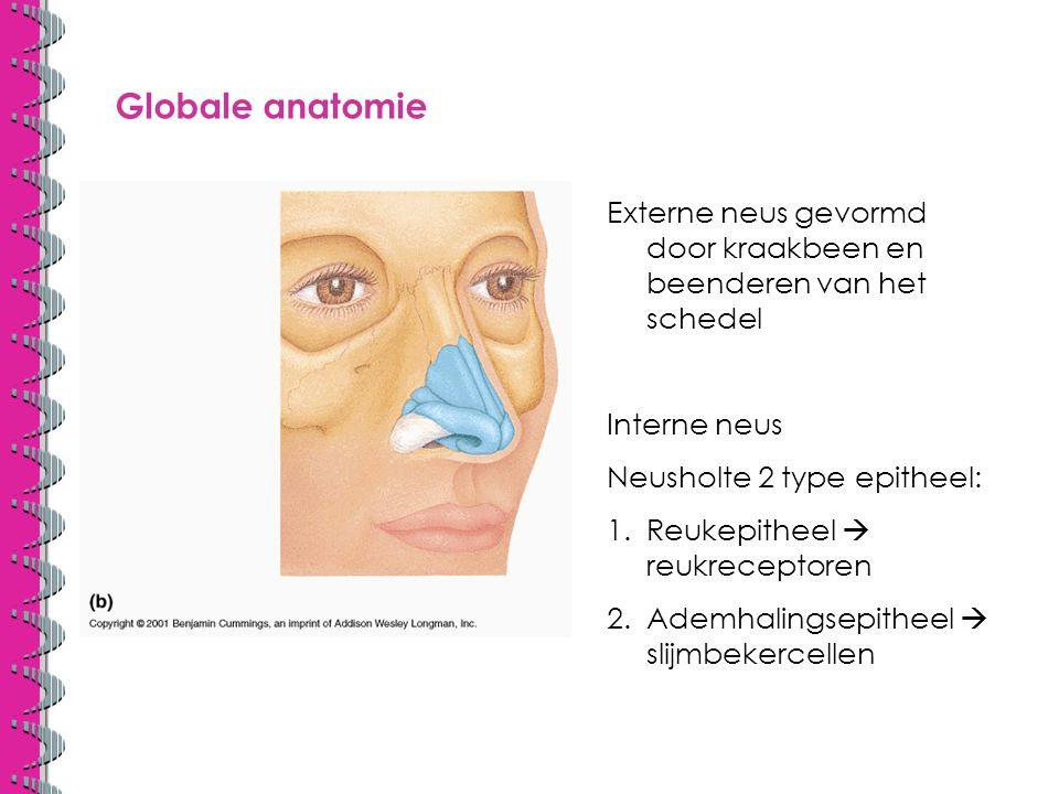 Globale anatomie Externe neus gevormd door kraakbeen en beenderen van het schedel. Interne neus. Neusholte 2 type epitheel:
