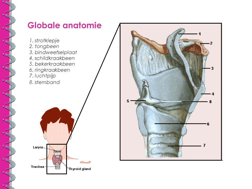 Globale anatomie 1. strotklepje 2. tongbeen 3. bindweefselplaat