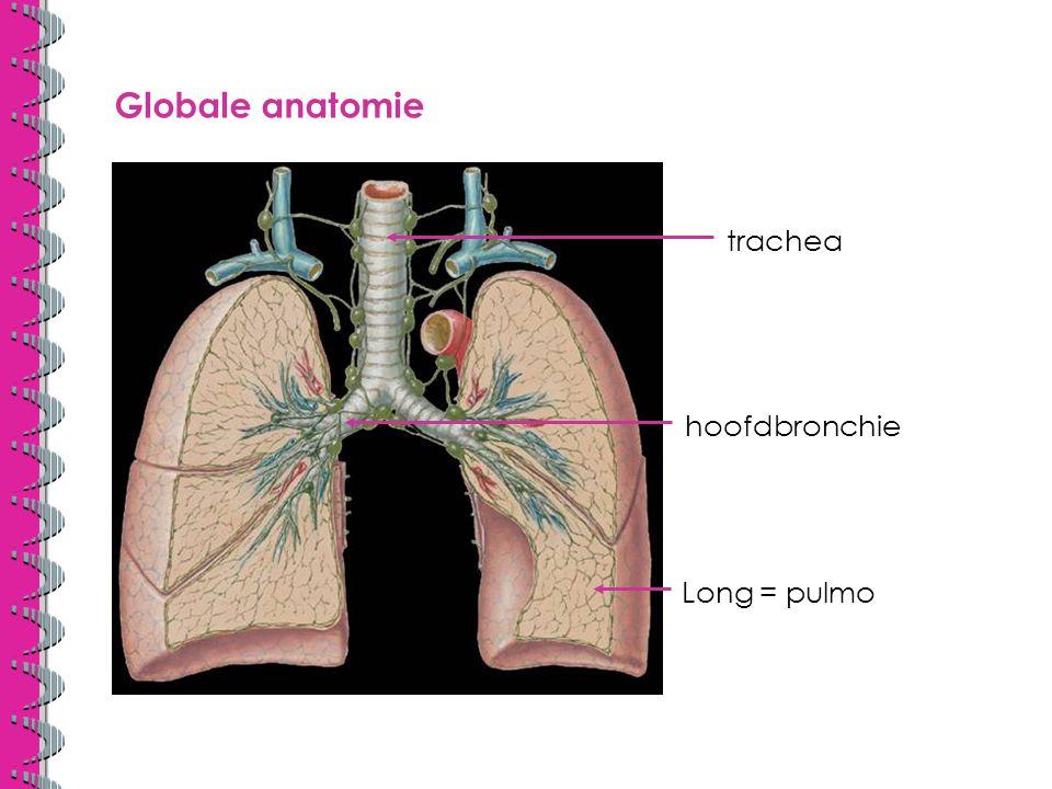 Globale anatomie trachea hoofdbronchie Long = pulmo