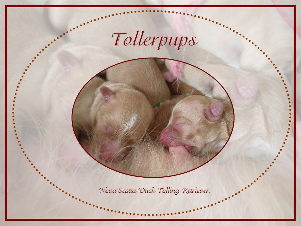 Tollerpups Nova Scotia Duck Tolling Retriever.