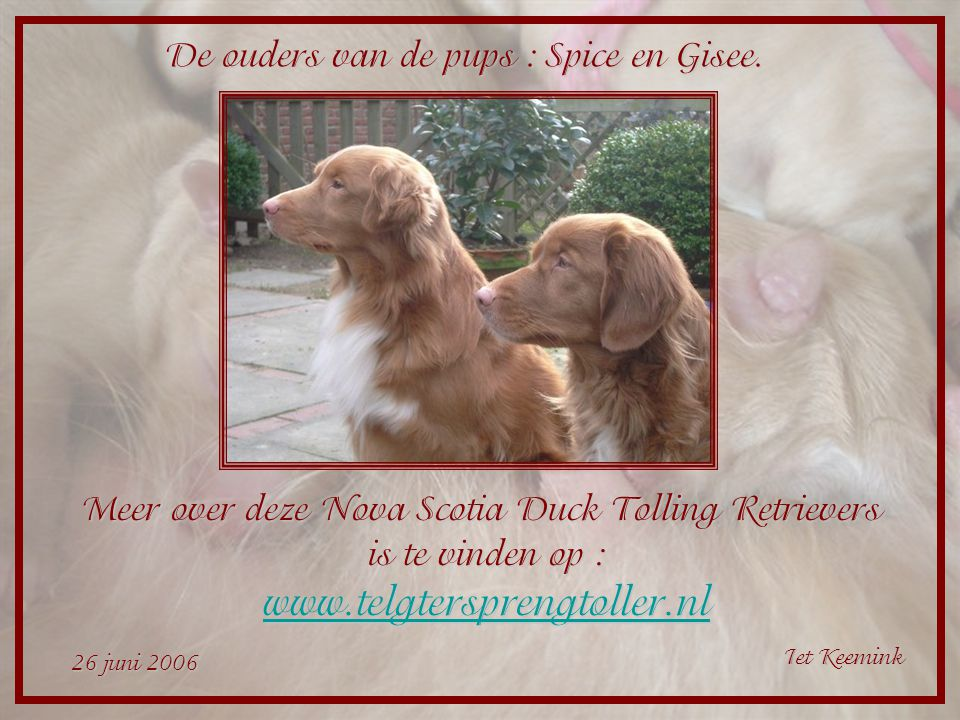 Meer over deze Nova Scotia Duck Tolling Retrievers
