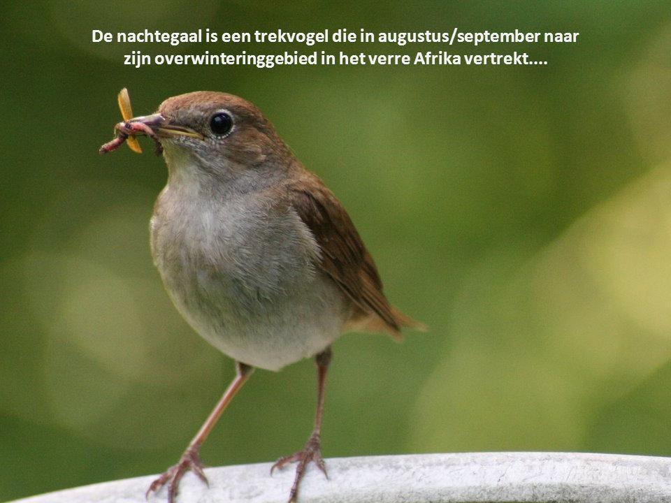 De nachtegaal is een trekvogel die in augustus/september naar