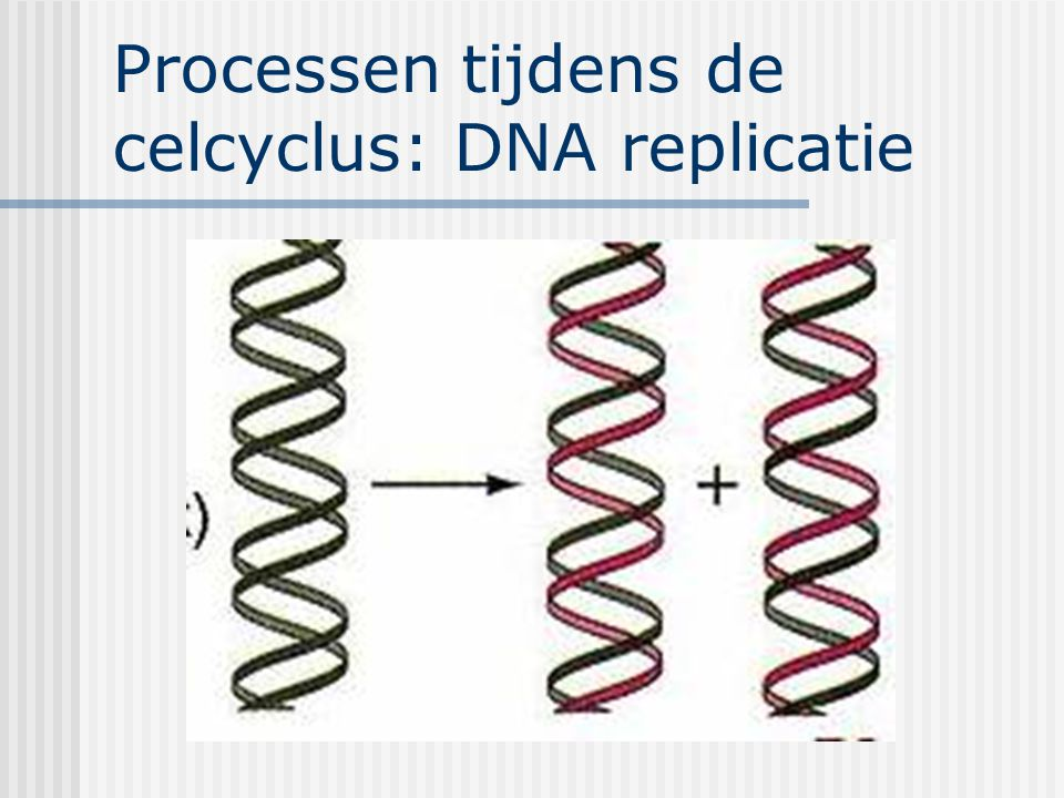 Processen tijdens de celcyclus: DNA replicatie