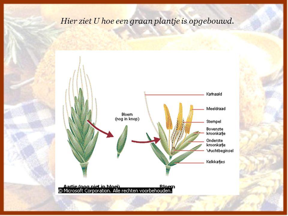 Hier ziet U hoe een graan plantje is opgebouwd.