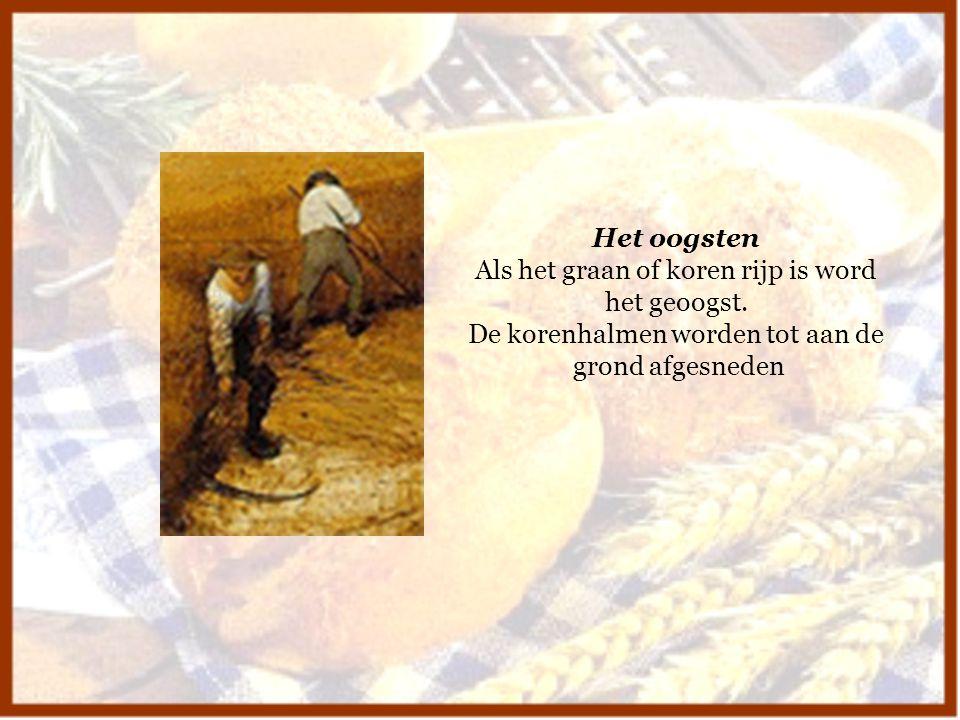 Als het graan of koren rijp is word het geoogst.