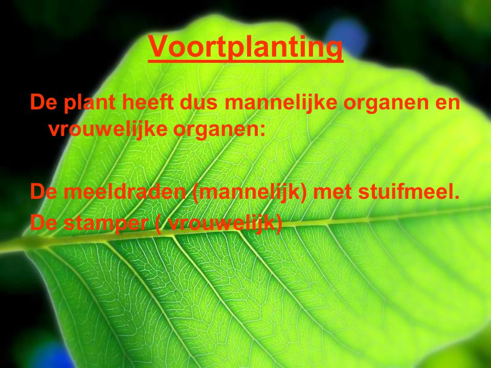 Voortplanting De plant heeft dus mannelijke organen en vrouwelijke organen: De meeldraden (mannelijk) met stuifmeel.