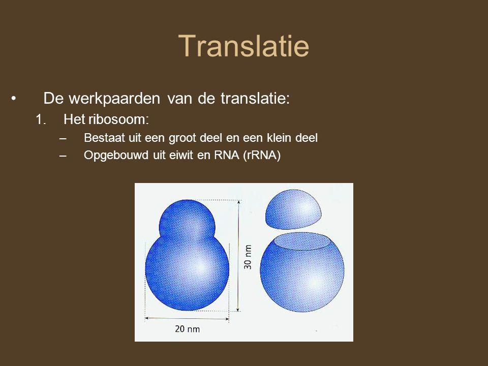 Translatie De werkpaarden van de translatie: Het ribosoom: