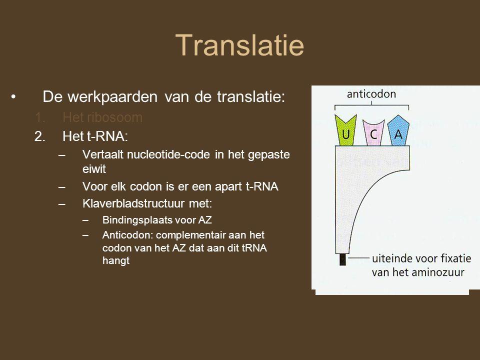 Translatie De werkpaarden van de translatie: Het ribosoom Het t-RNA: