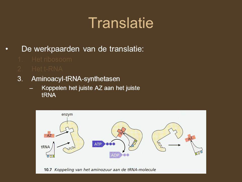 Translatie De werkpaarden van de translatie: Het ribosoom Het t-RNA