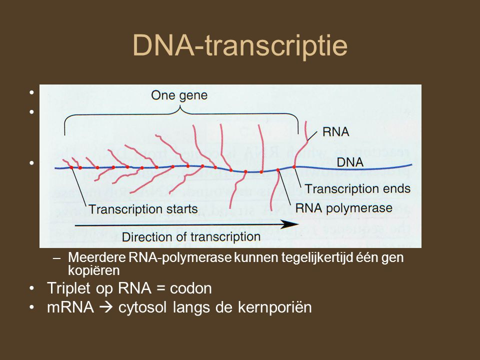 DNA-transcriptie DNA  messenger RNA (mRNA) RNA: RNA-polymerase: