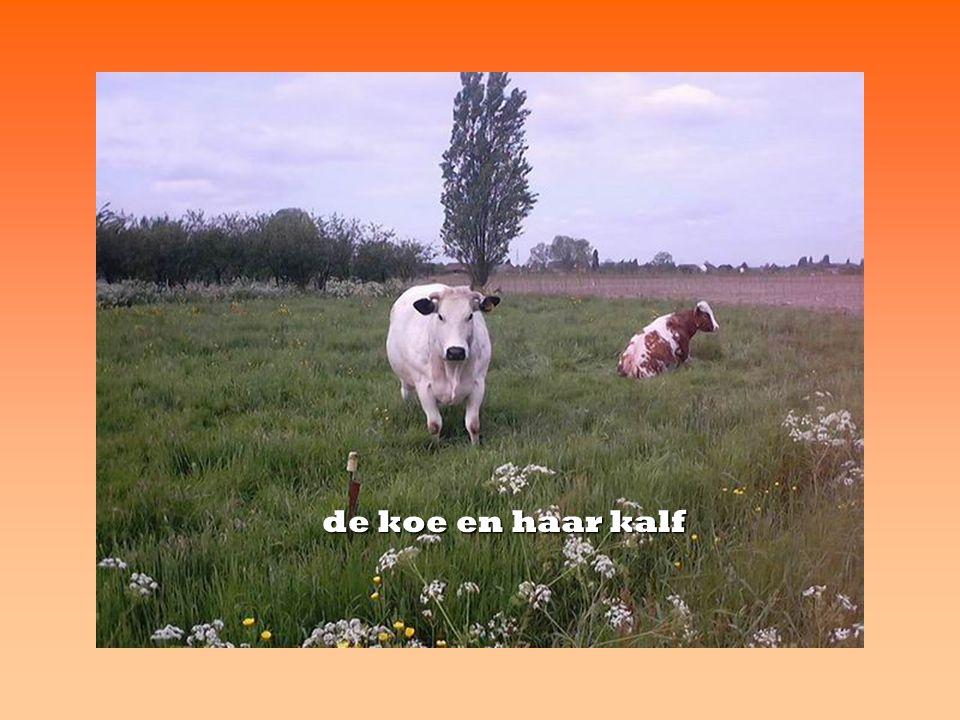 de koe en haar kalf
