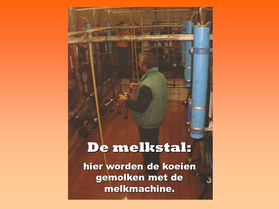hier worden de koeien gemolken met de melkmachine.