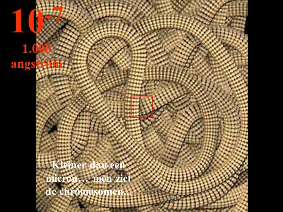 Kleiner dan een micron… men ziet de chromosomen...